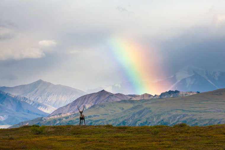 Alaska caribou rainbow