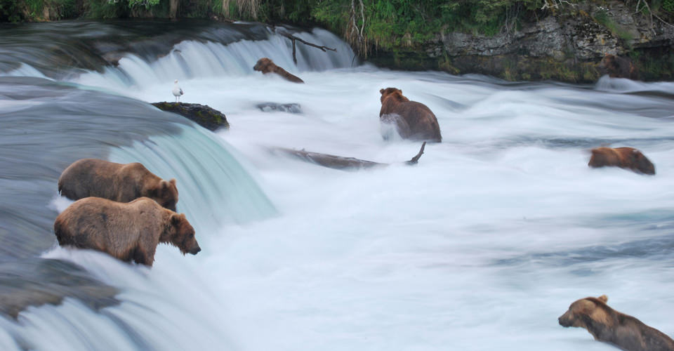 Alaska Brown bears, Brooks Falls, Katmai National Park fishing